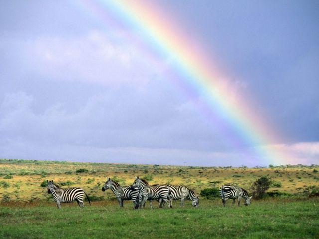Rainbow Wall Afican Zebra